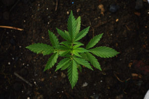 Cannabis legalization of whole  plant