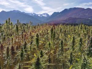 cannabis world wide acceptance