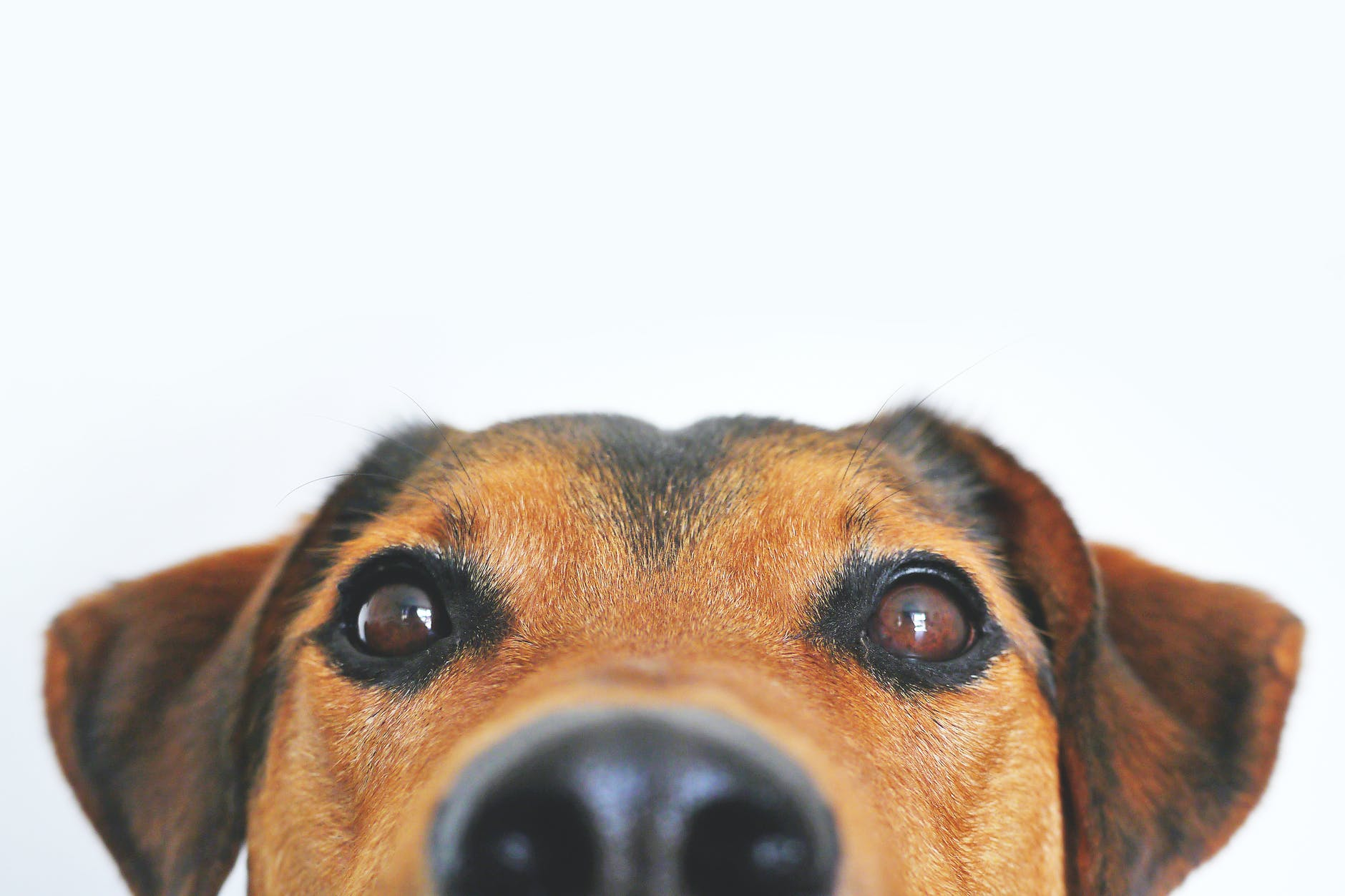 closeup photo of brown and black dog face